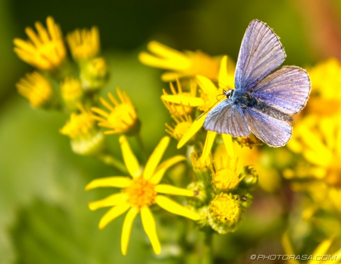 male common blue and yellow flowers