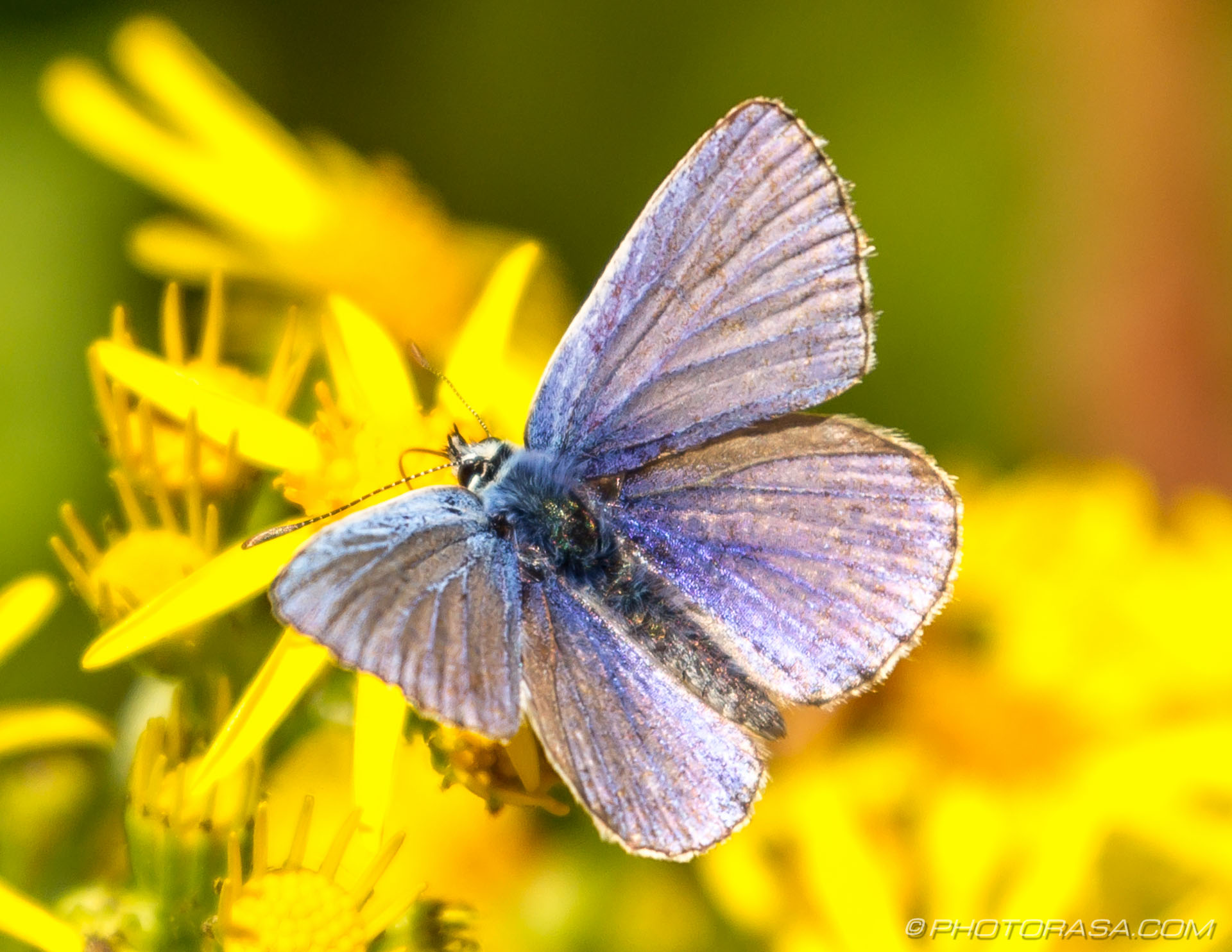 https://photorasa.com/common-blue-butterfly/male-common-blue/