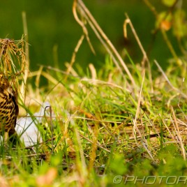 mistle thrush in long grass collect nest materials