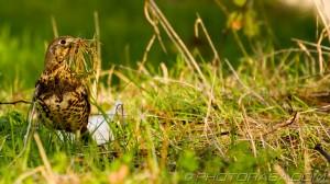 mistle thrush in long grass collect nest materials