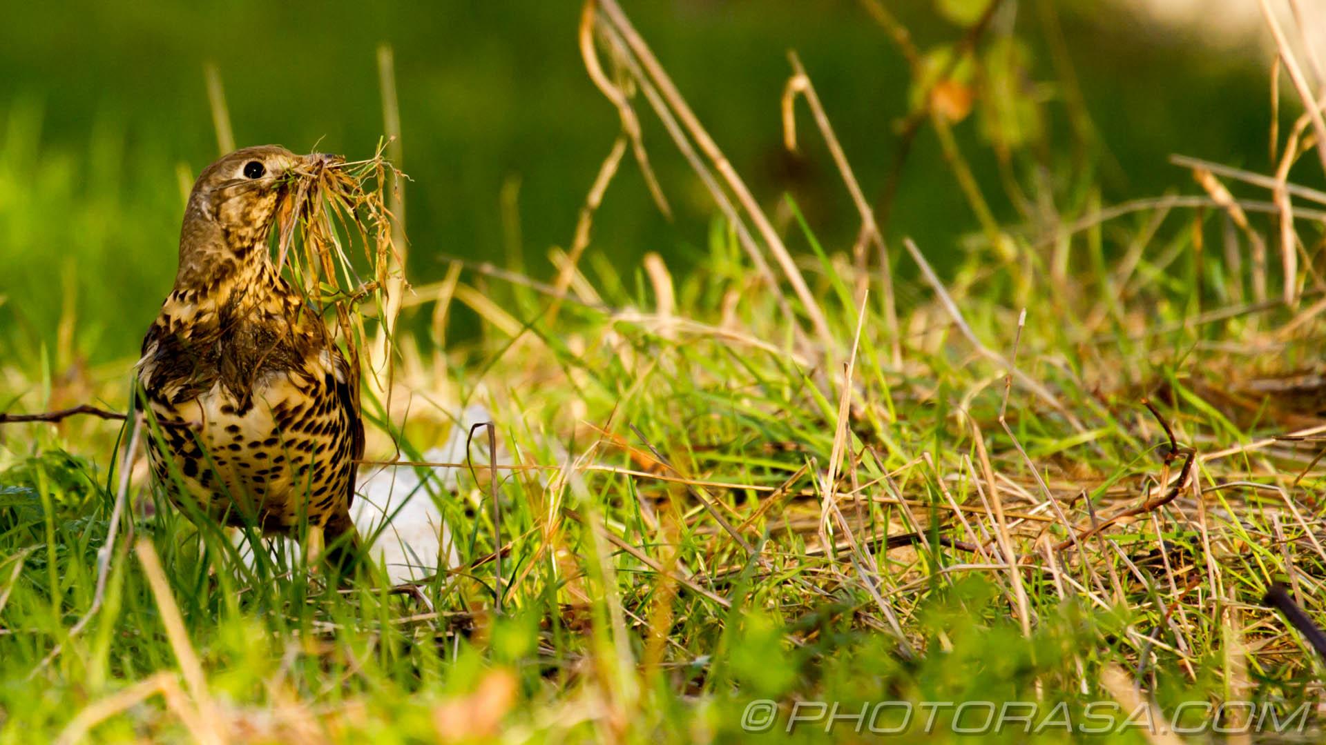 http://photorasa.com/mistle-thrush-scavenging-nest-materials/mistle-thrush-in-long-grass-collect-nest-materials/