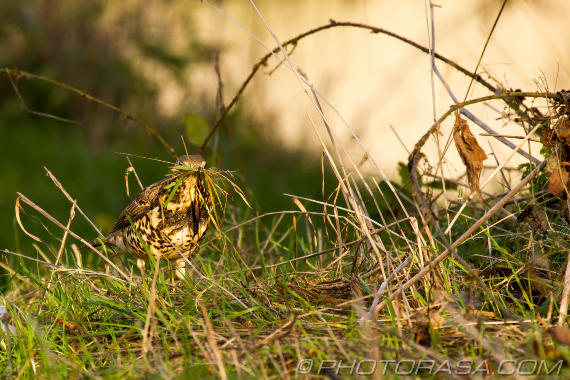 http://photorasa.com/mistle-thrush-scavenging-nest-materials/mouthful-of-grass/