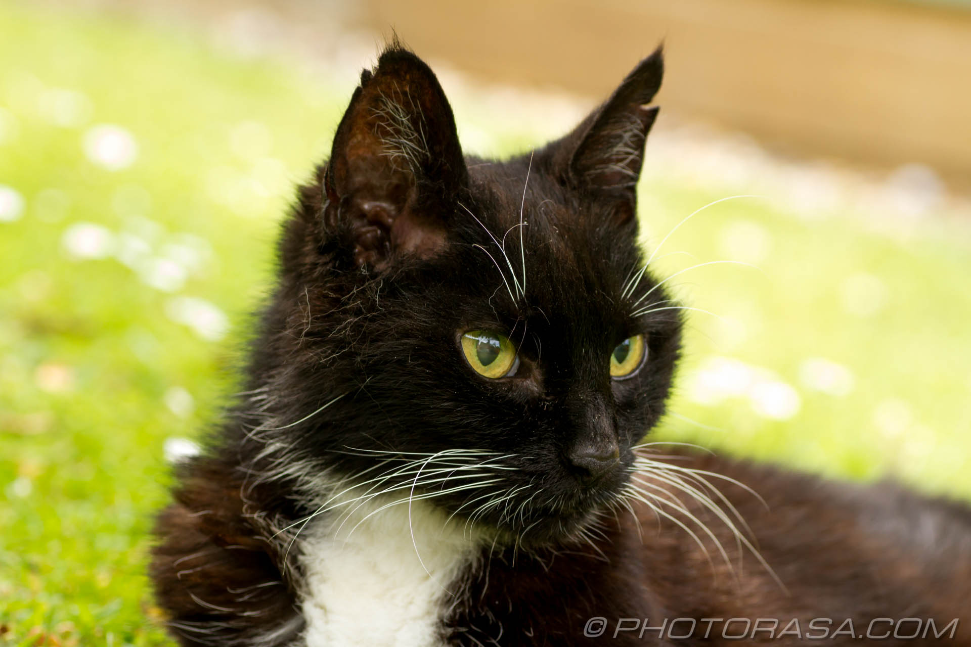 http://photorasa.com/black-white-cats/bedraggled-black-and-white-cat/