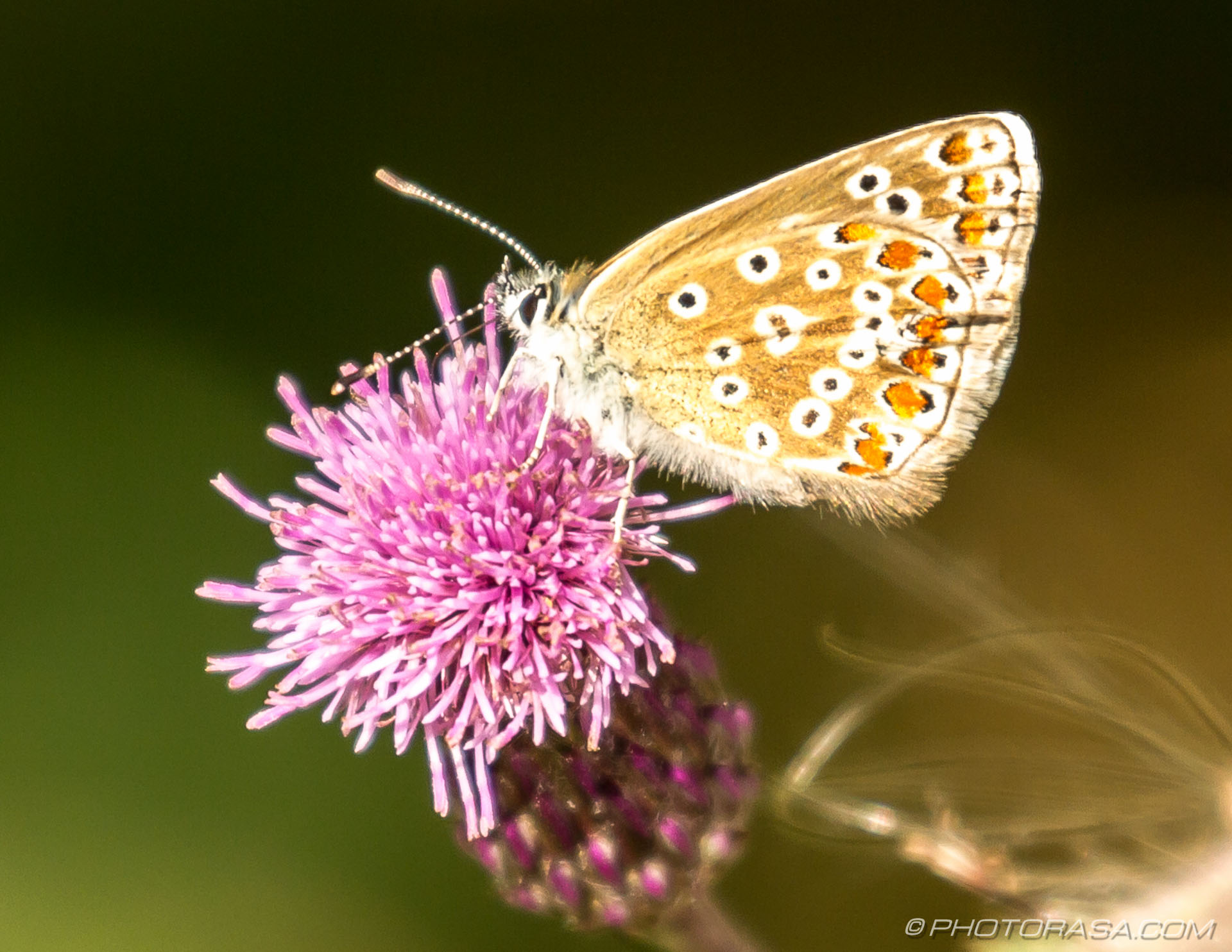 https://photorasa.com/common-blue-butterfly/on-a-pink-flower/