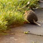 river rat tail