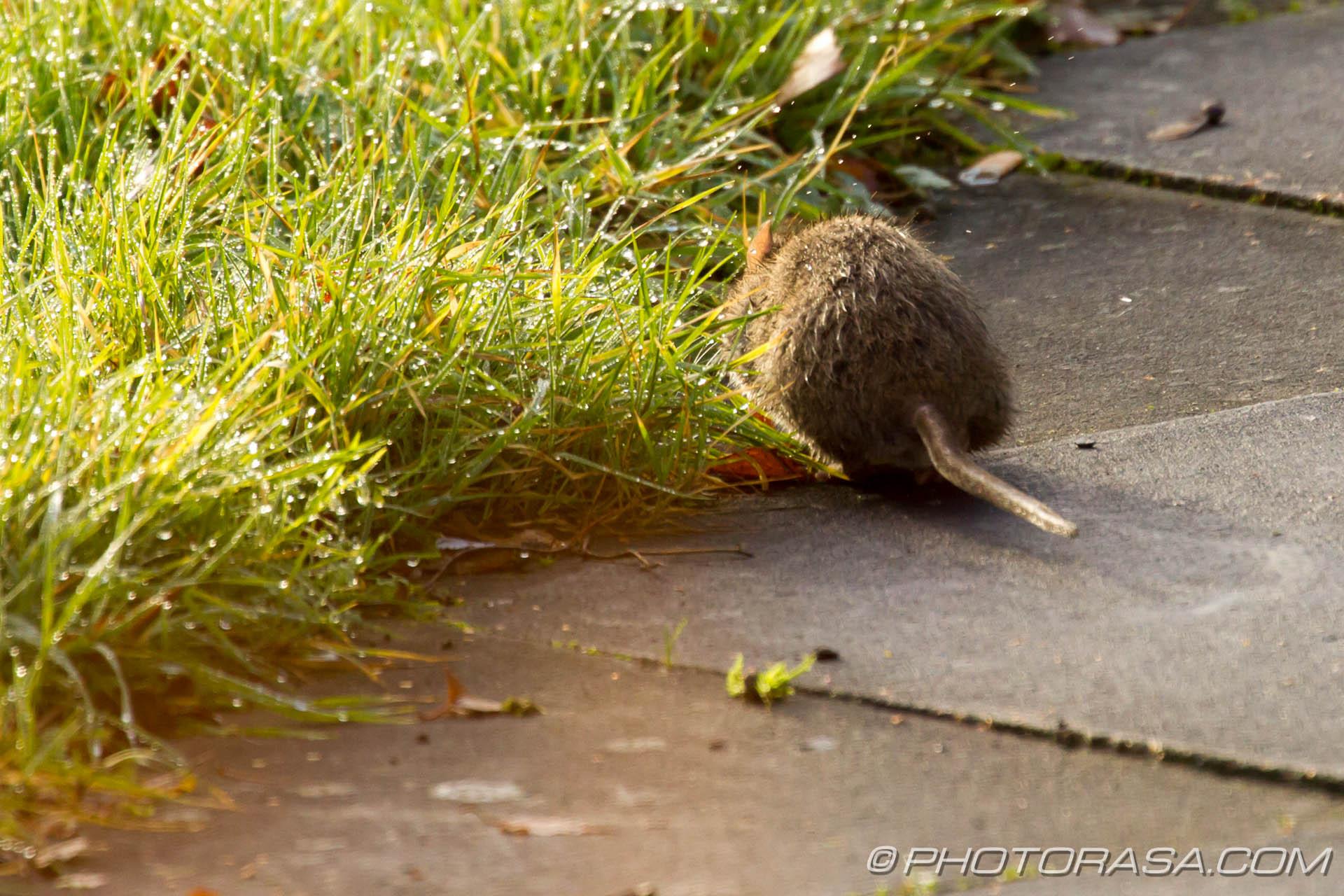 http://photorasa.com/river-rat-maidstone-market/river-rat-tail/