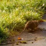 river rat scuttling off