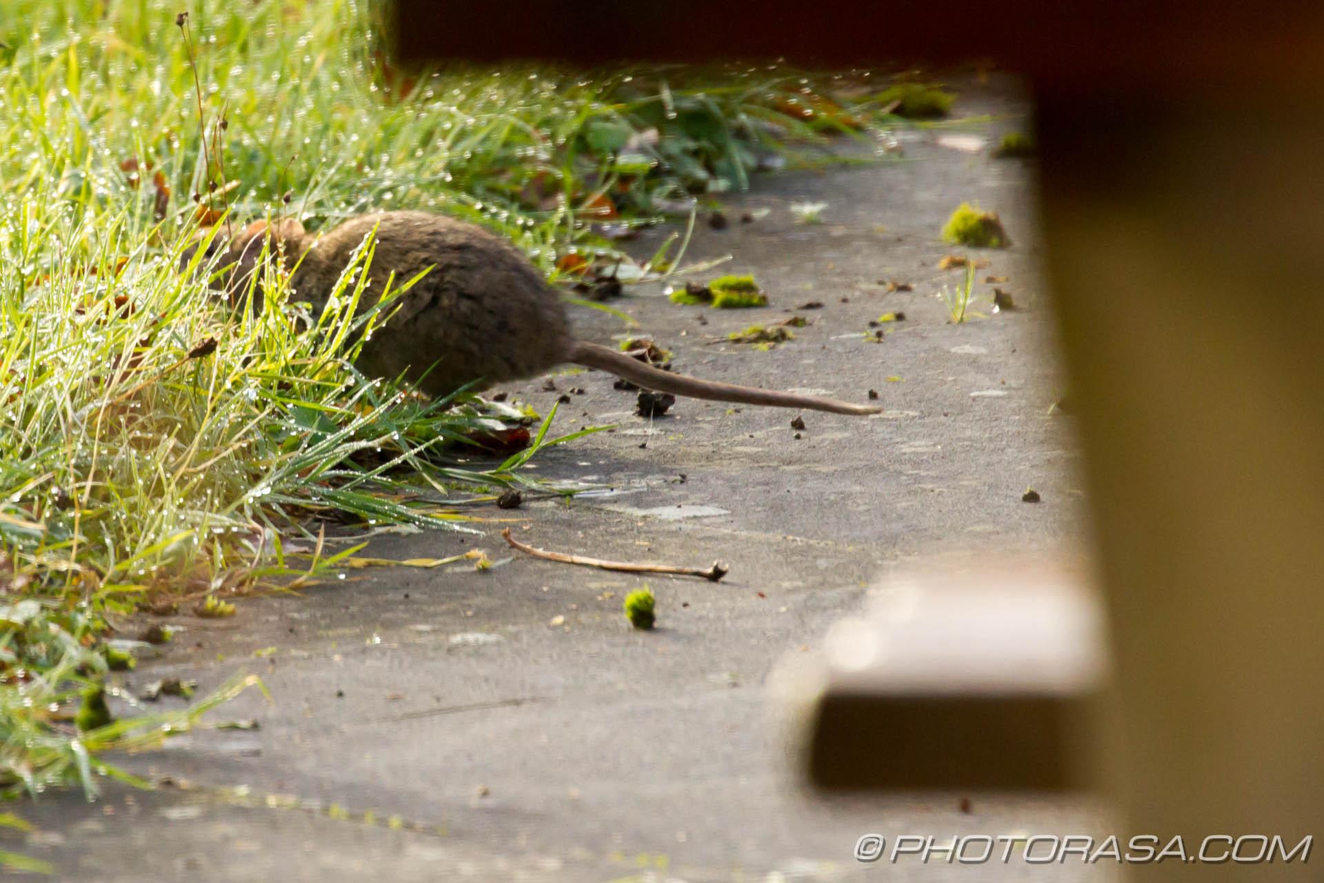 http://photorasa.com/river-rat-maidstone-market/river-rat-running-into-the-grass/