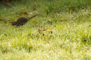 skipping off through the dewy grass