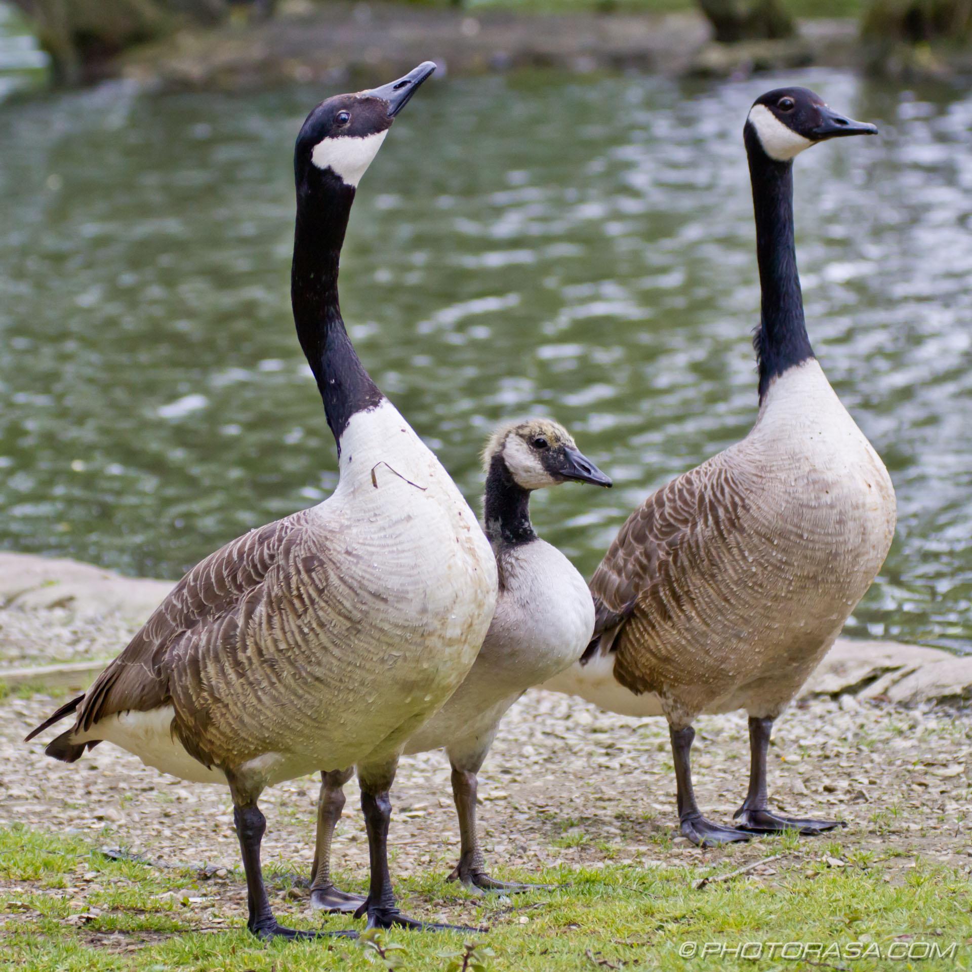 http://photorasa.com/gaggle-geese/the-goose-family/