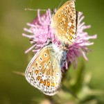 two common blues on a pink thistle flower