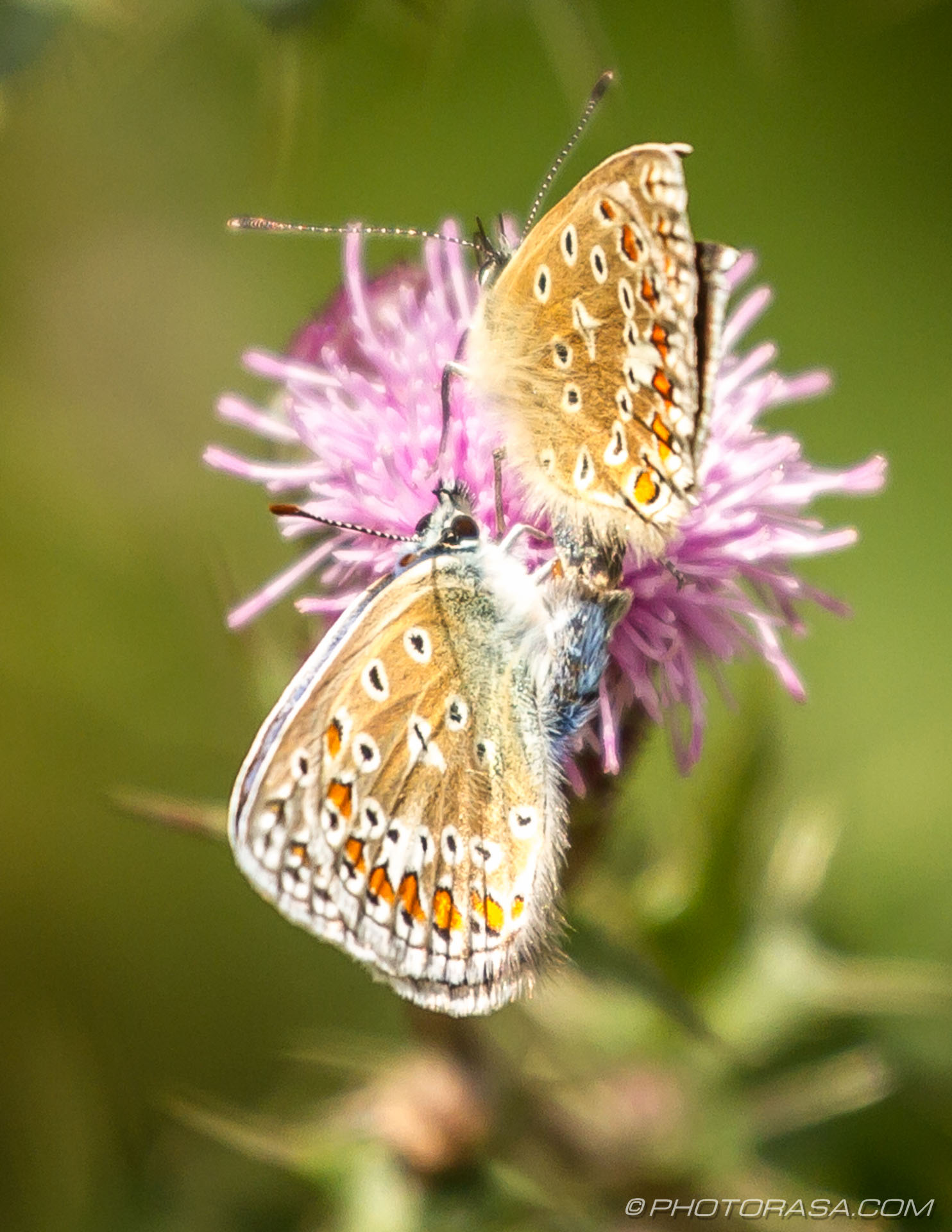 https://photorasa.com/common-blue-butterfly/two-common-blues/