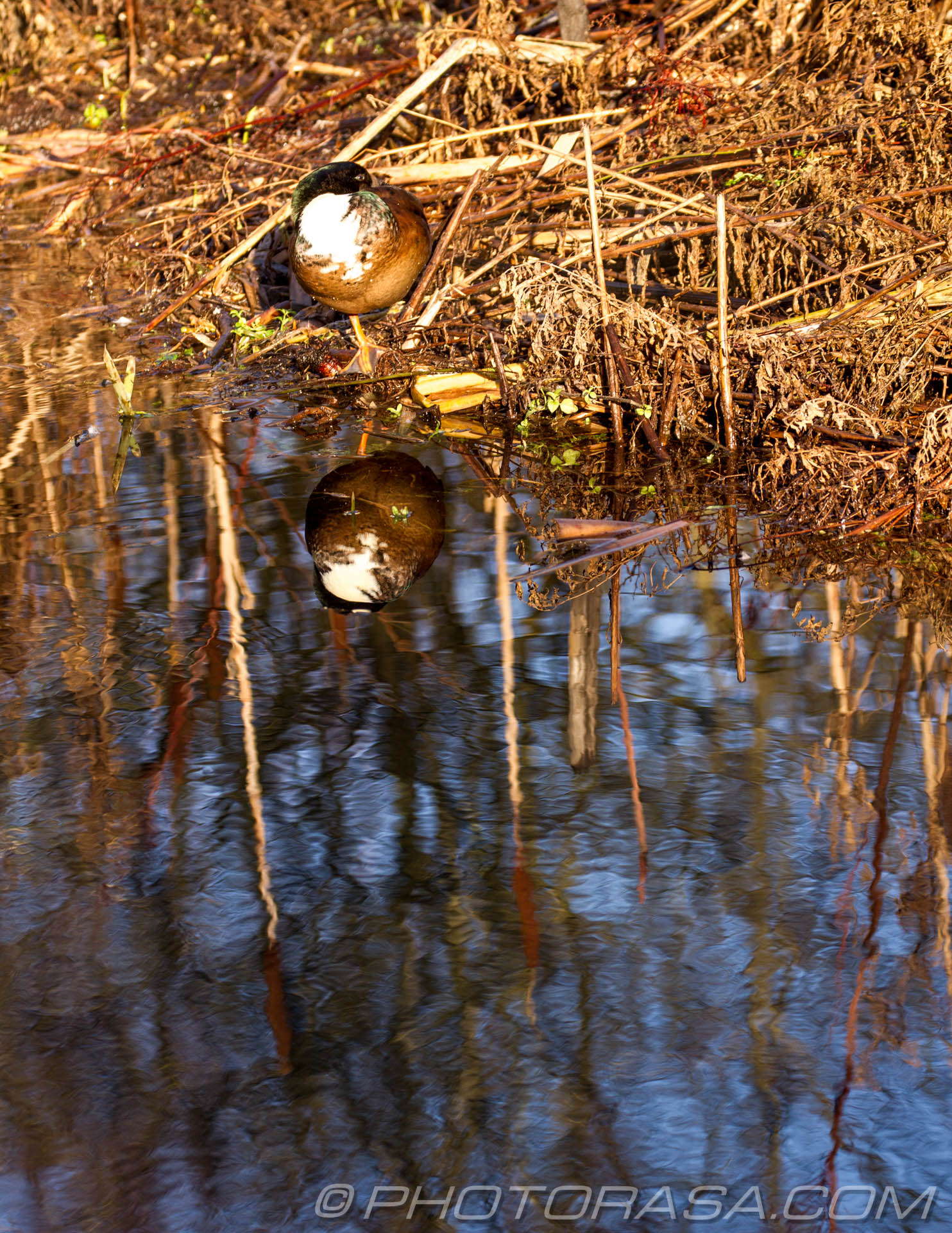 http://photorasa.com/ducks-bullrushes/white-breasted-drake-and-bullrushes-reflected-in-river/