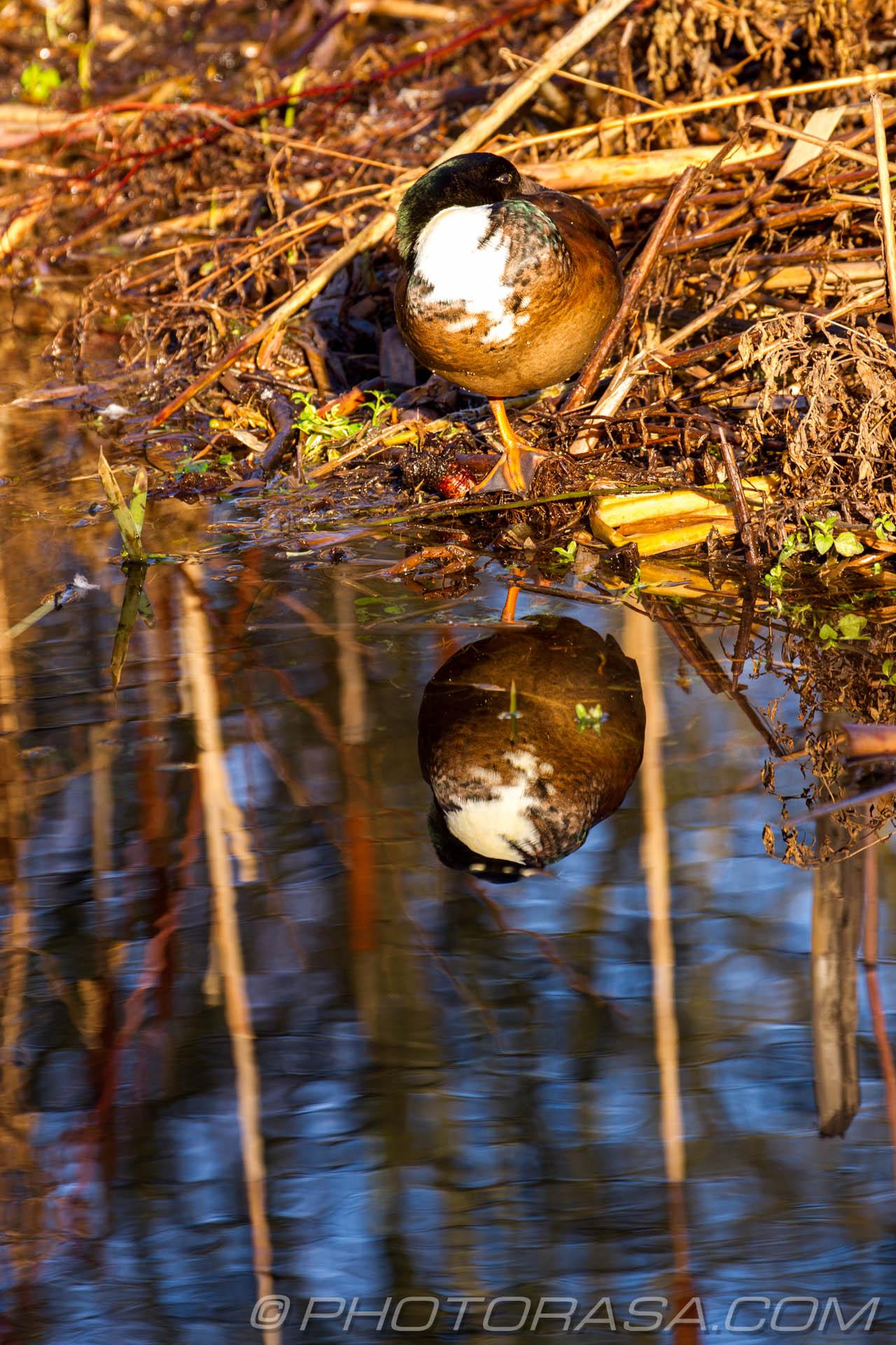 http://photorasa.com/ducks-bullrushes/white-breasted-drake-reflected-in-water/