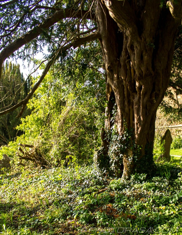 ancient yew