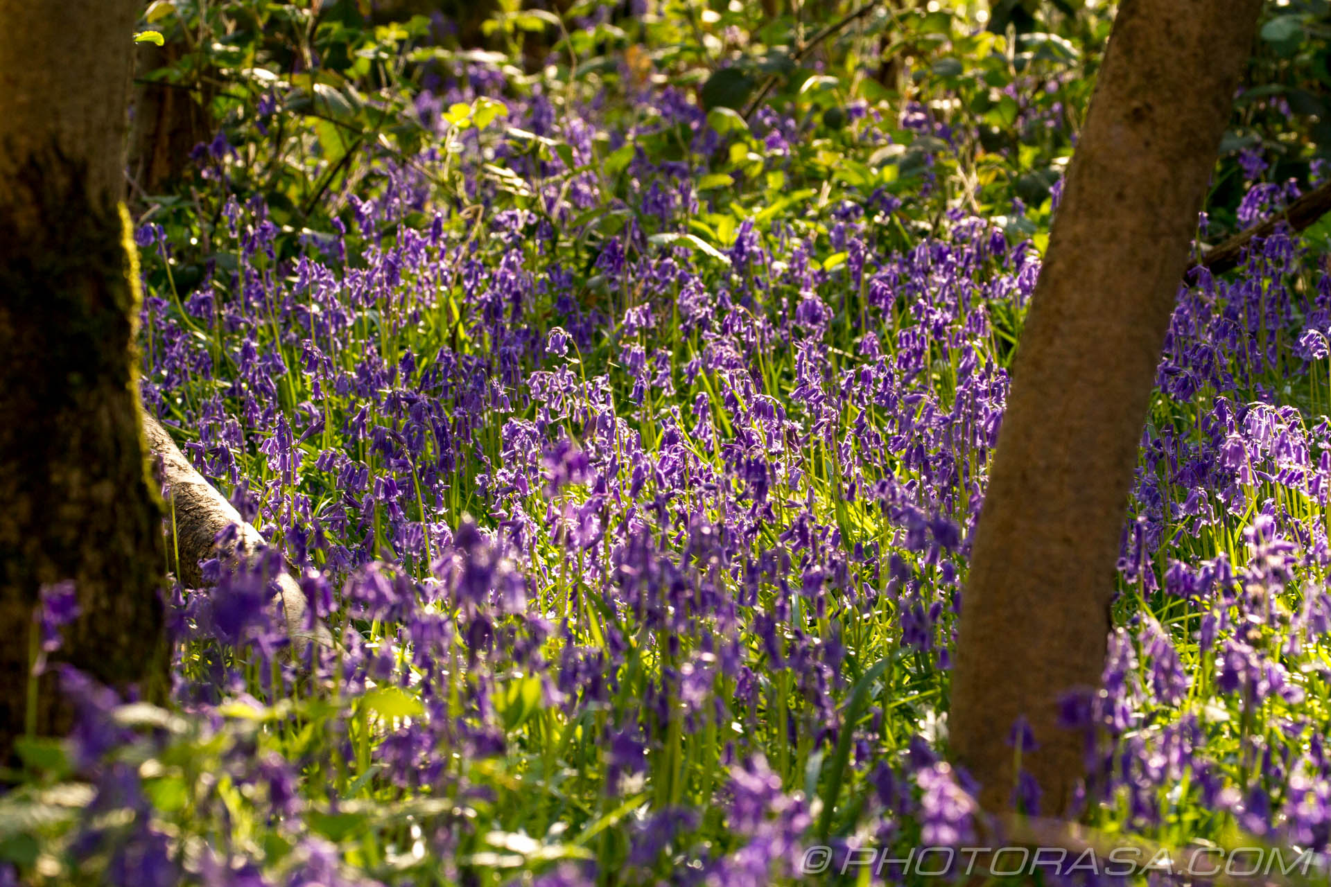 http://photorasa.com/bluebells-woods/bluebells-in-the-woods/