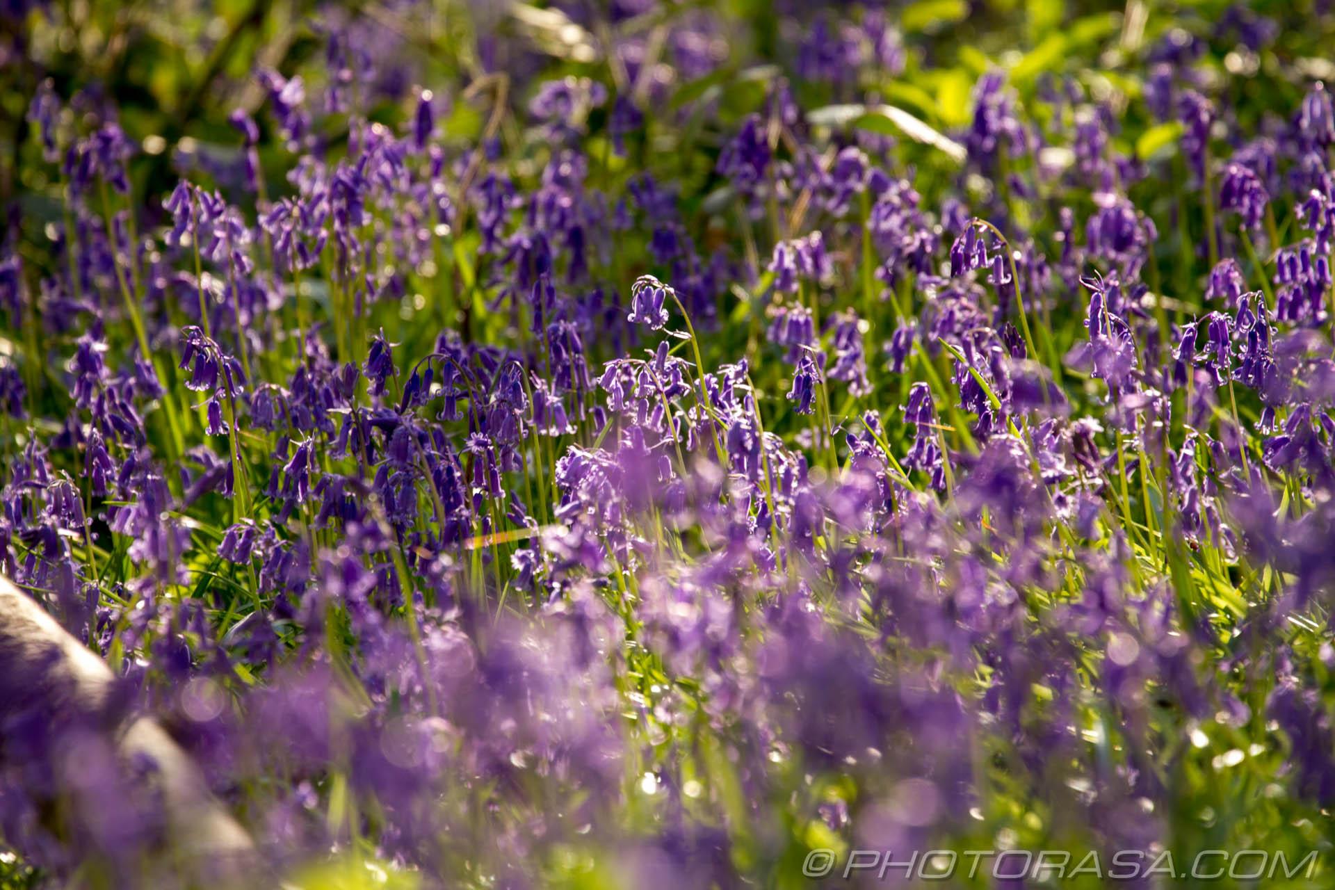 https://photorasa.com/bluebells-woods/bluebells/