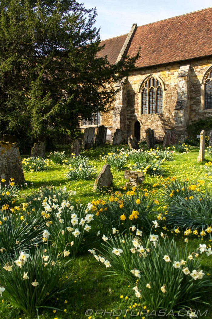 daffodils at the side of the church