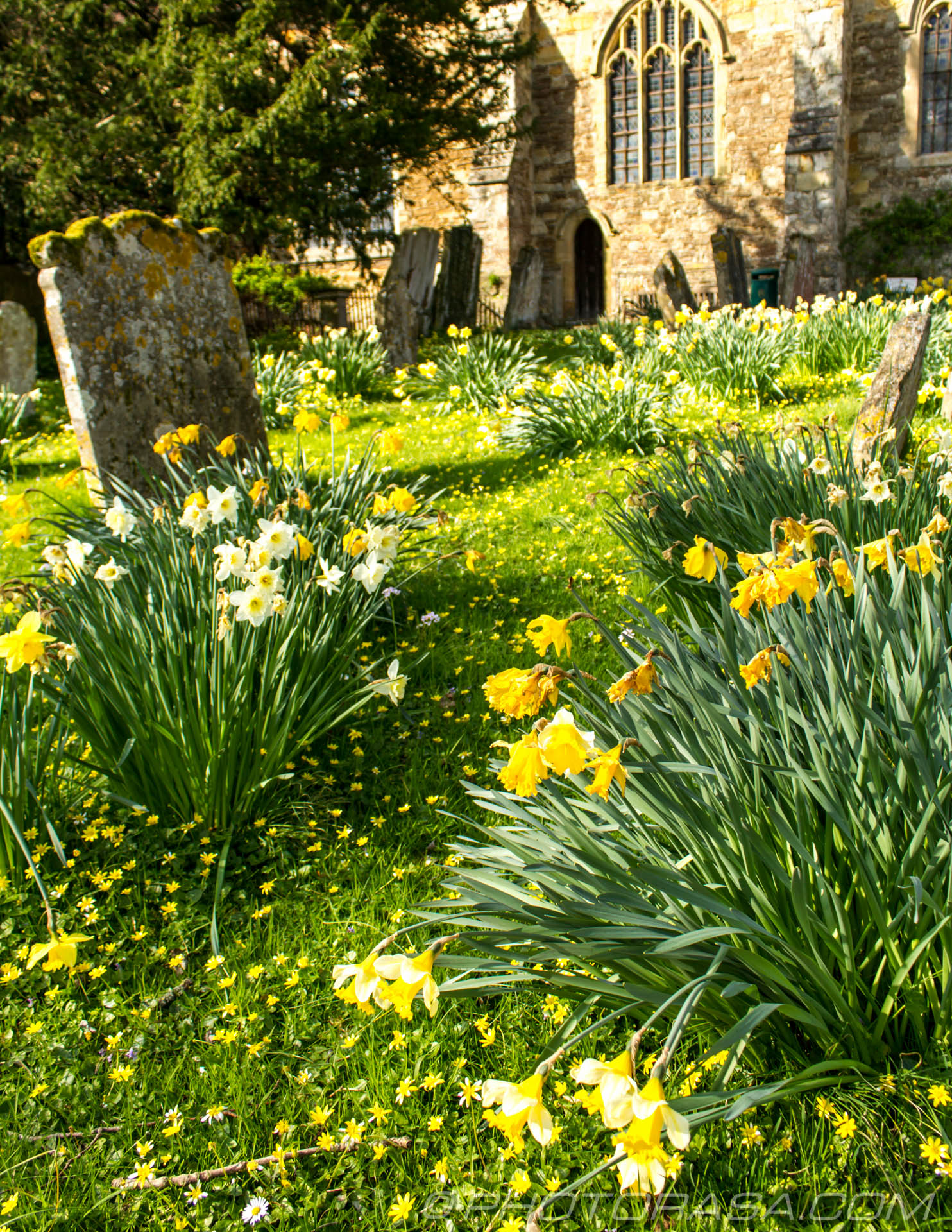 http://photorasa.com/saints-church-staplehurst-kent/daffs-and-buttercups-leading-to-church-door/
