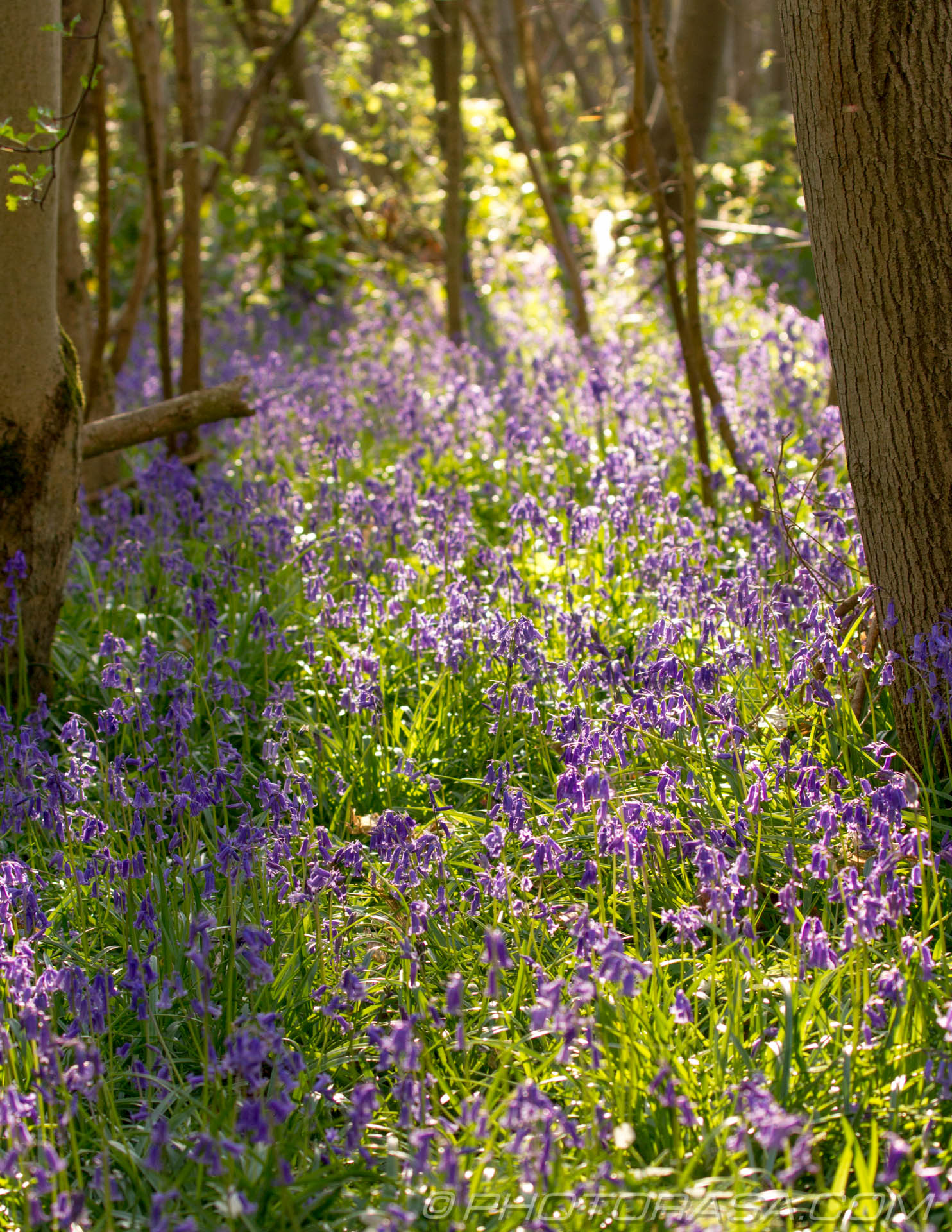 http://photorasa.com/bluebells-woods/forest-flowers/