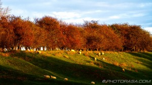 light on sheep and treeline at top of hill