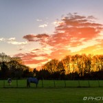 pink evening clouds and tree silhouette in field with horses