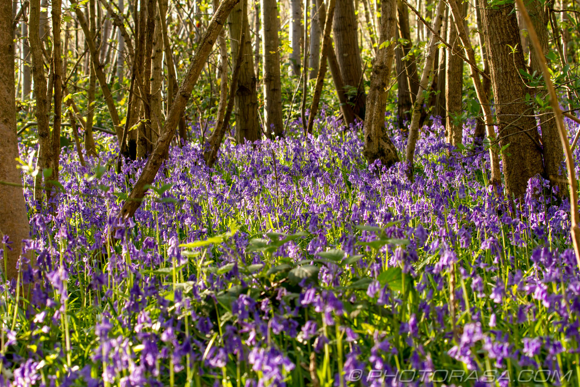 http://photorasa.com/bluebells-woods/sea-of-bluebells/