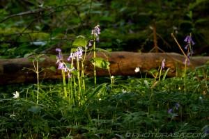 sunlit bluebells