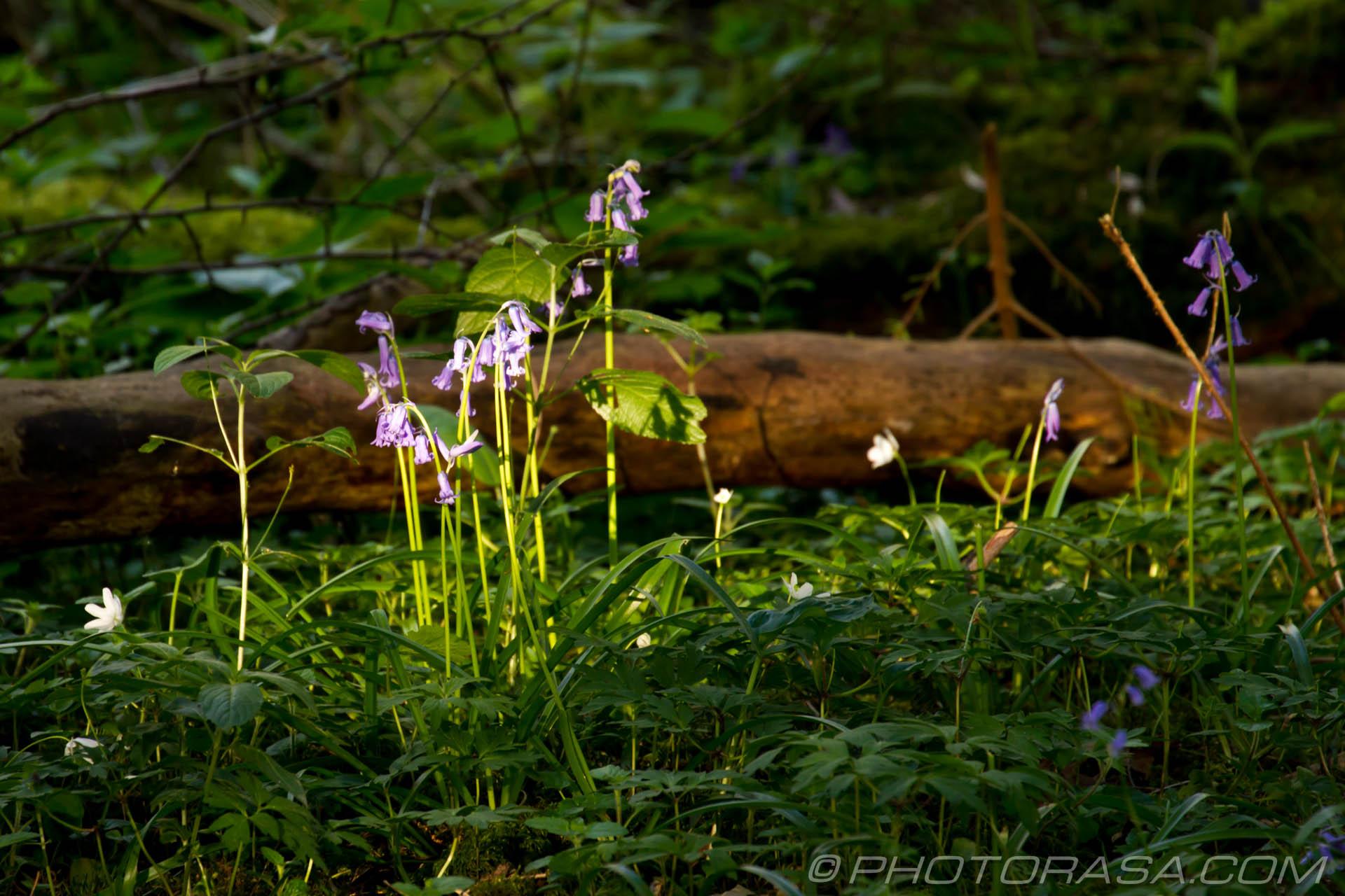 http://photorasa.com/bluebells-woods/sunlit-bluebells/
