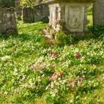wild primroses and polyanthus near large grave