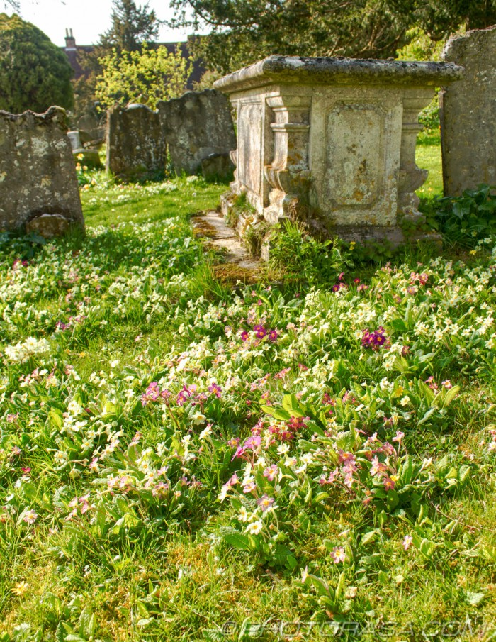 wild primroses and polyanthus near large grave