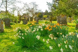 yellow and white daffodils in the churchyard