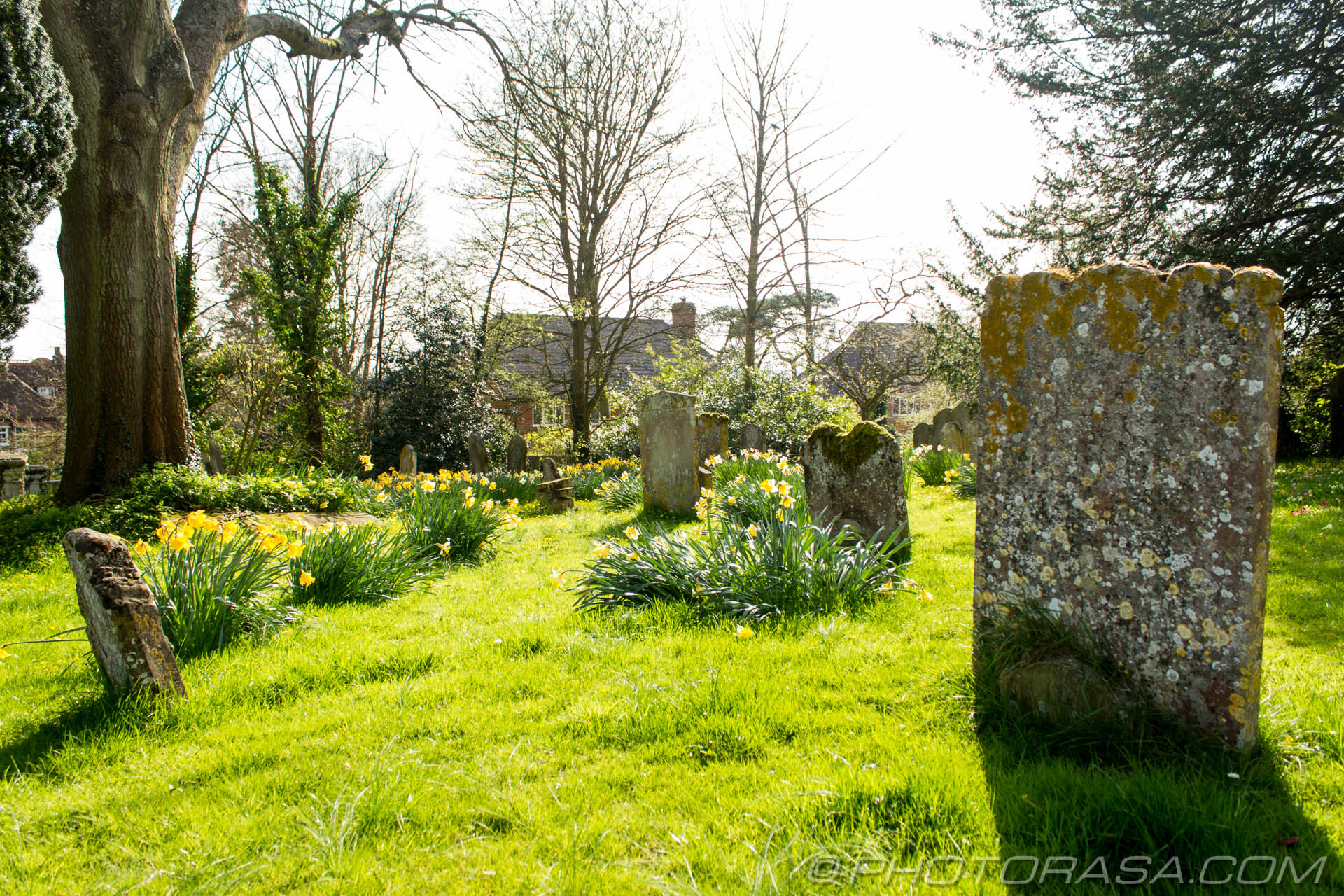 http://photorasa.com/saints-church-staplehurst-kent/yellow-church-daffs/