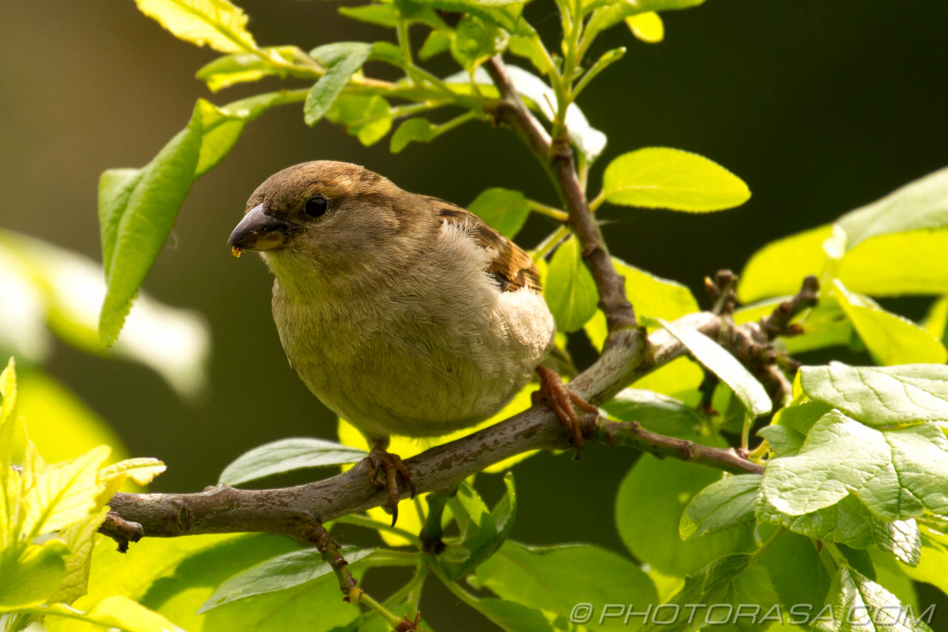 http://photorasa.com/sparrows/sparrow/