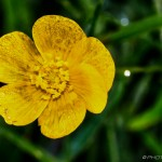 dewdrop buttercup