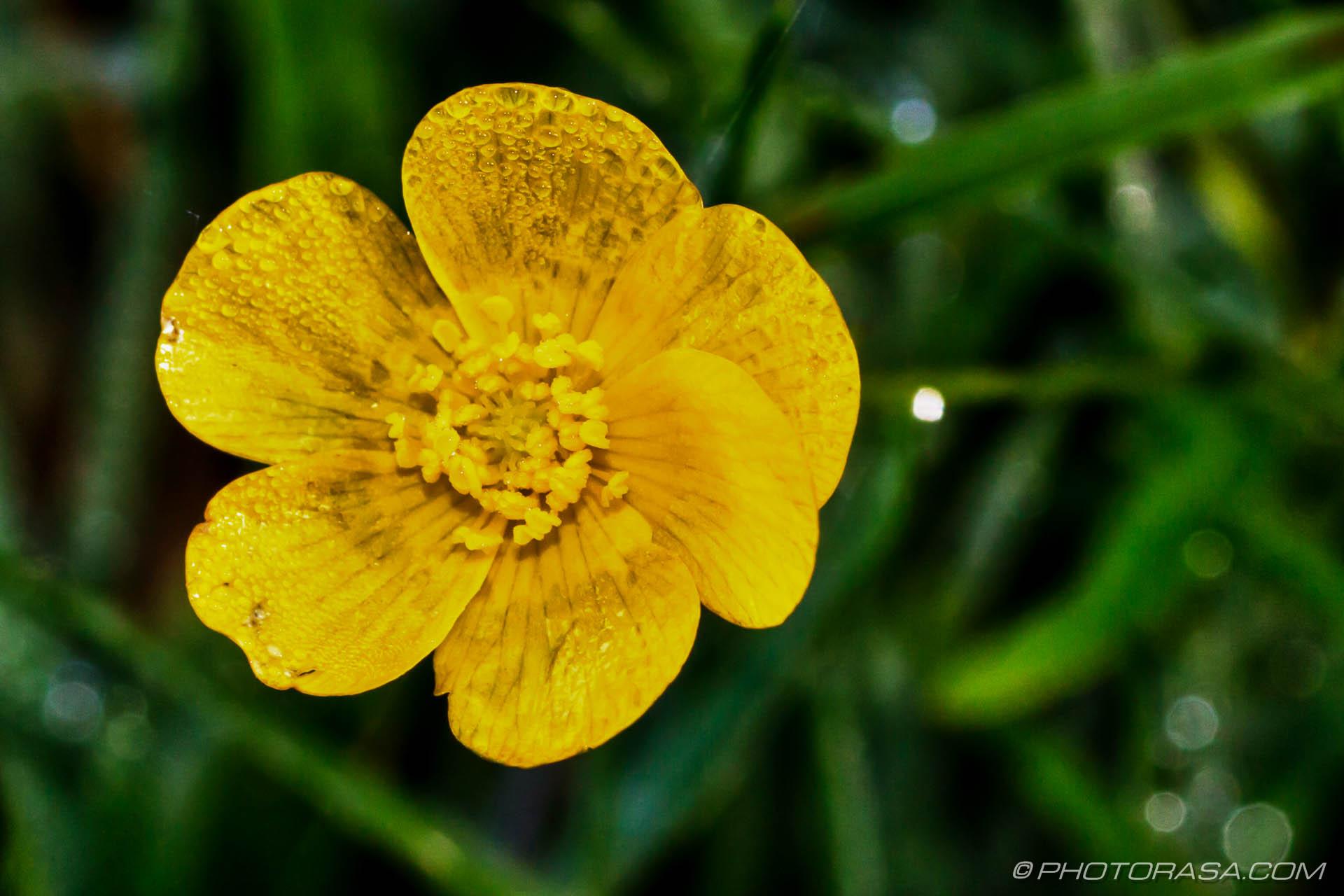 http://photorasa.com/dewdrop-buttercup/