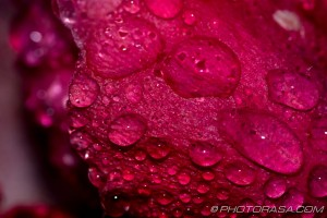 dewdrop pattern on pink rose