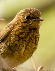 fluffy young robin