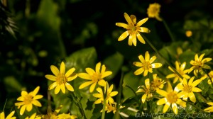 group of buttercups