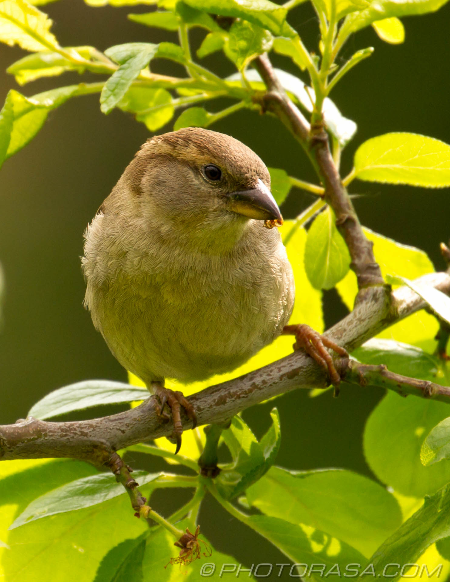 http://photorasa.com/sparrows/house-sparrow-in-tree/