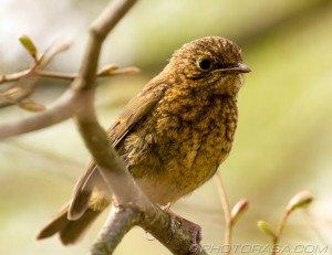 juvenile on a branch