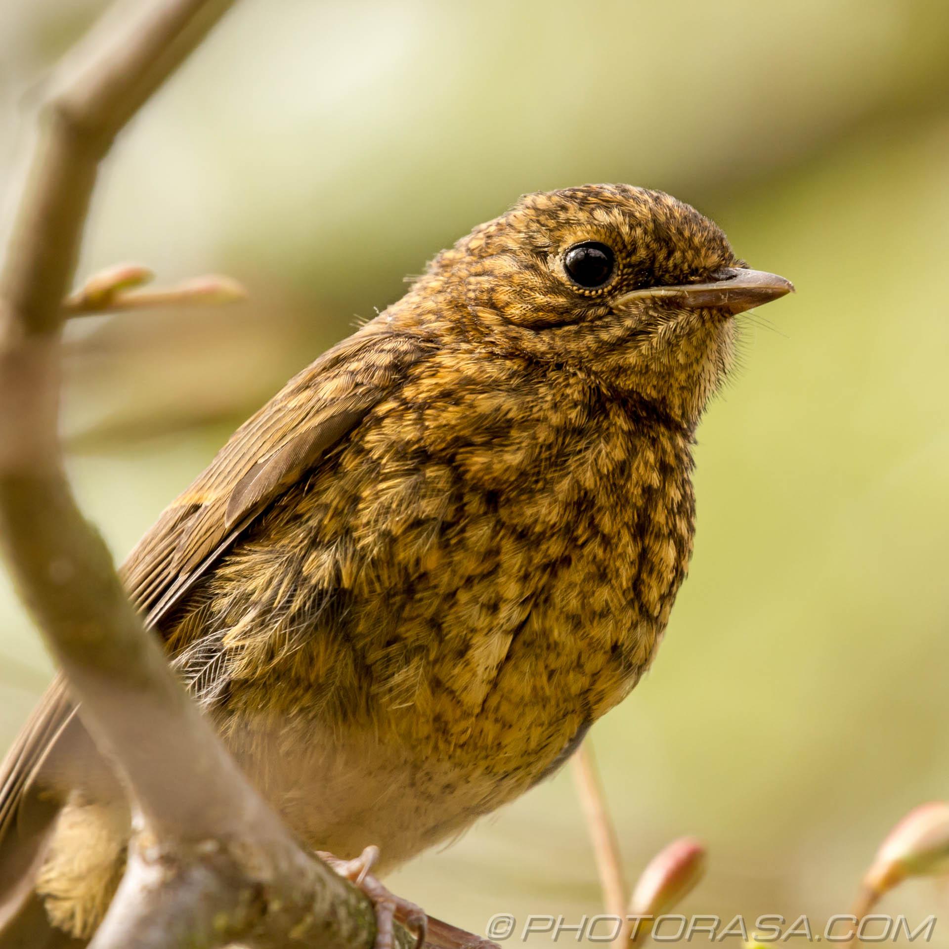 http://photorasa.com/young-robin-brown-orange/juvenile-robin/