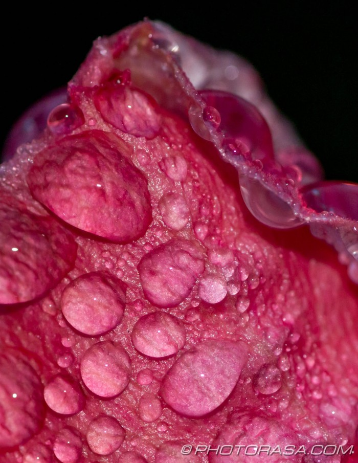 meaty pink rose and water drops