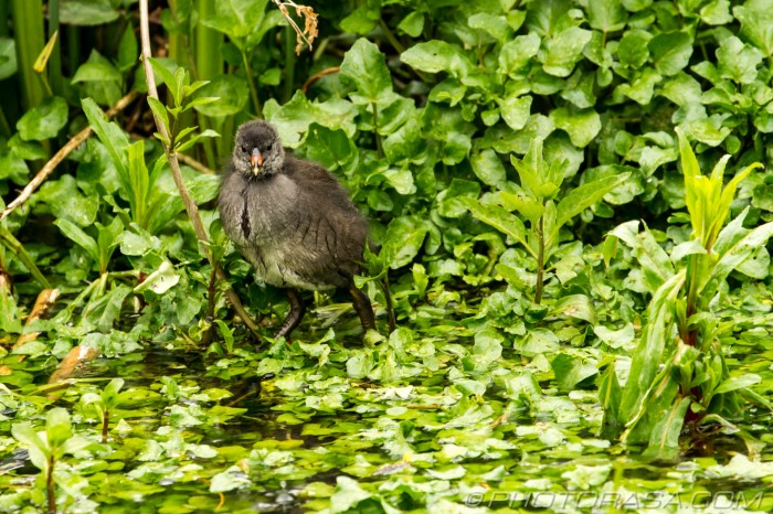 moorhen chick among the plants