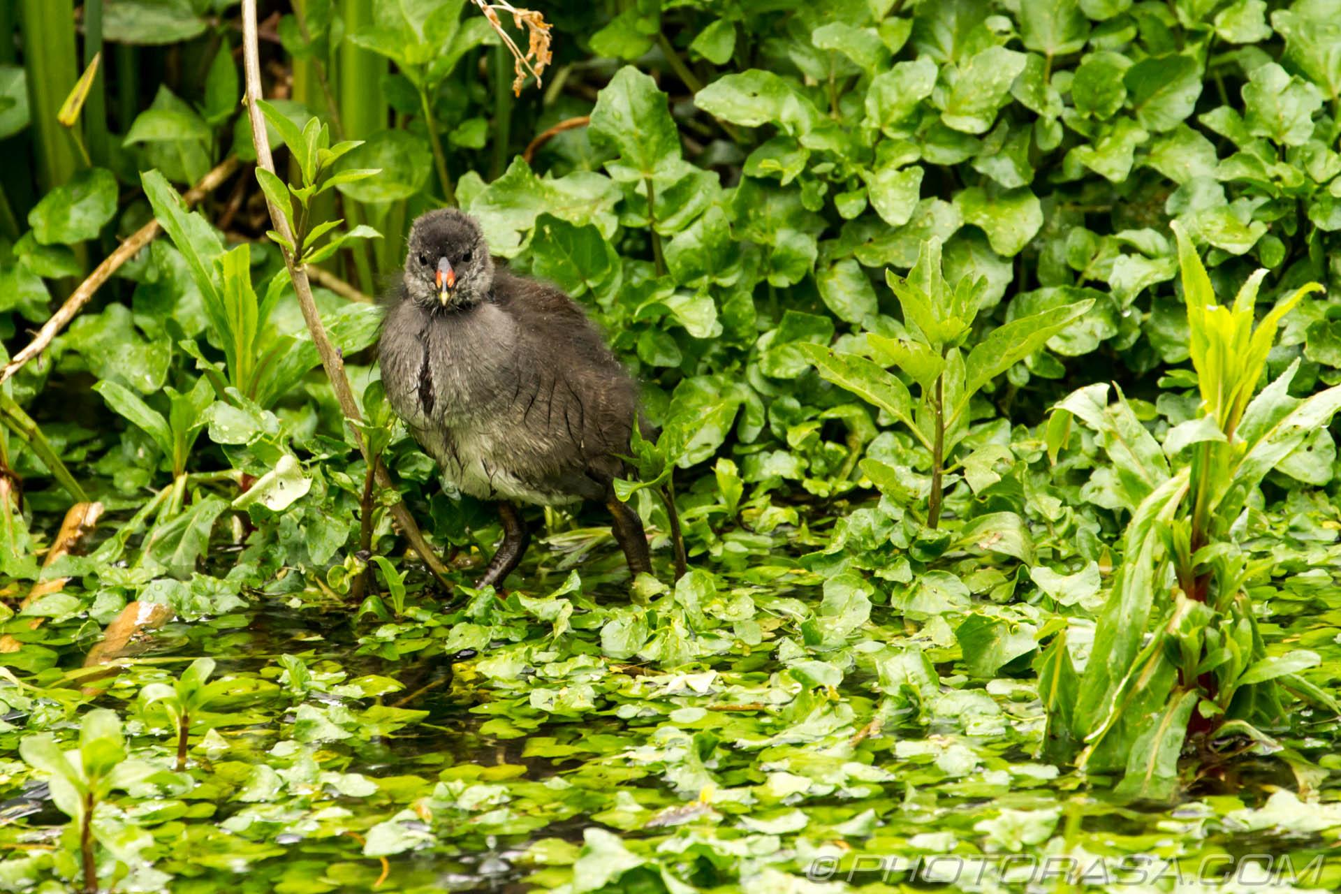 http://photorasa.com/baby-moorhens/moorhen-chick-among-the-plants/