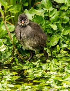 moorhen chick having a paddle