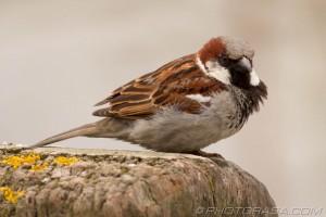 sea sparrow
