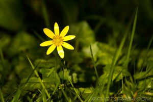 single buttercup in the grass
