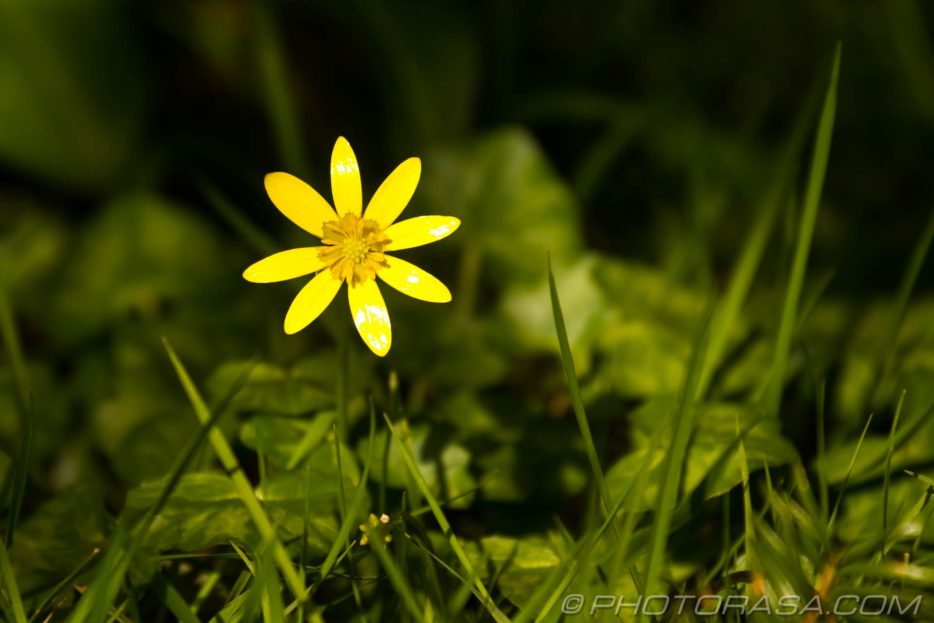 http://photorasa.com/single-buttercup-in-the-grass/