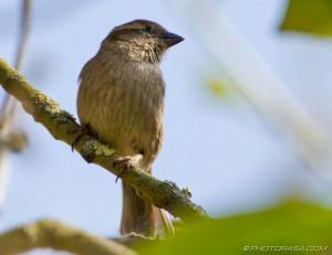 sparrow breast